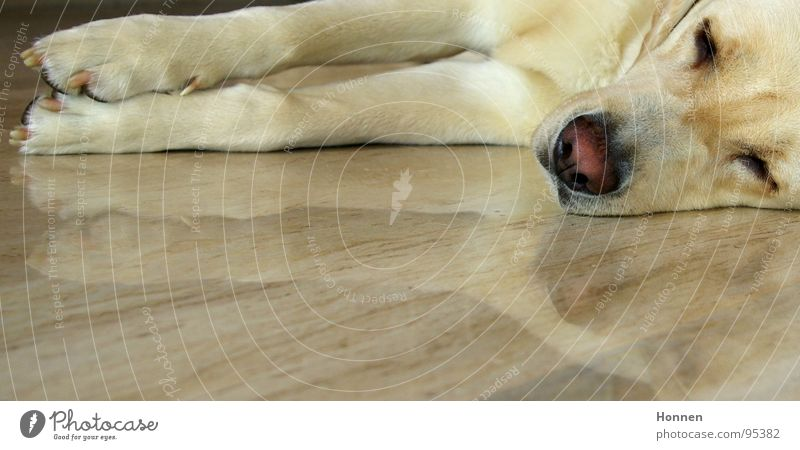 Stable lateral position Dog Labrador Blonde Sleep Reflection Nose Pelt Mammal Fatigue bubble nose Marble Relaxation Lie