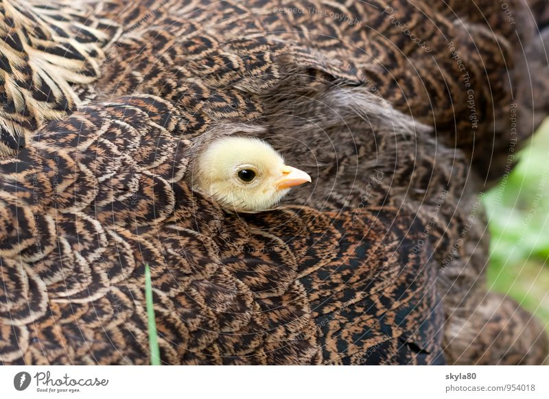 favourite place Barn fowl Bird Feather Beak Multicoloured Exceptional Close-up Hide Looking Chick