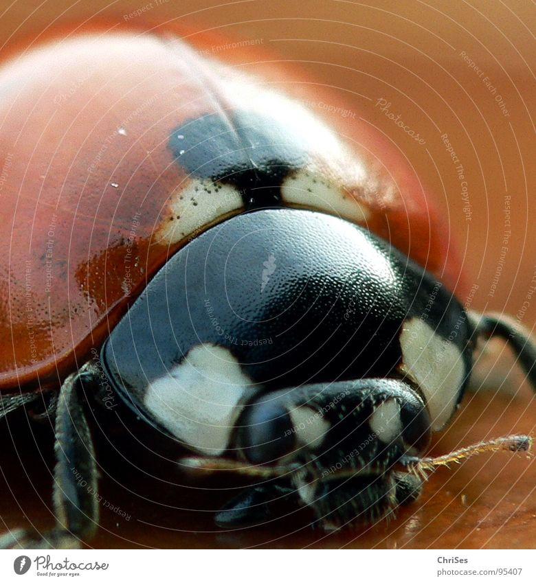 White Summer Animal Black Macro (Extreme close-up) Spring Orange Point Insect Beetle Ladybird 7 Seven-spot ladybird