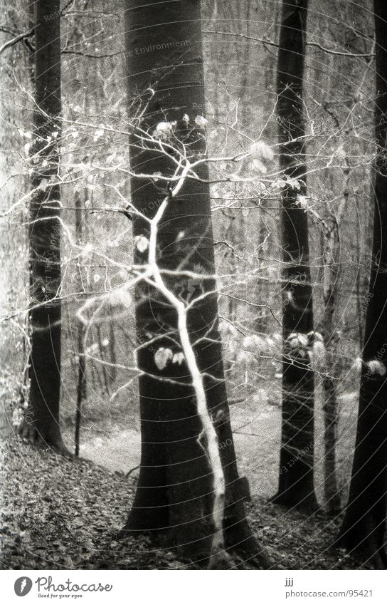 little white fairy Birch tree Beech tree Forest Tree White Small Large Slope Tree trunk Leaf Winter Cross Fairy tale Enchanted forest Mystic Black & white photo