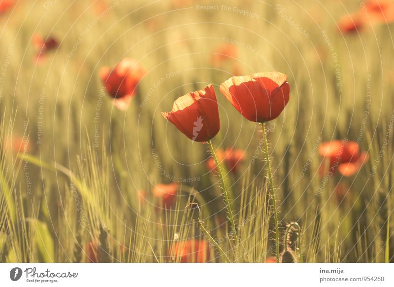 Nature Plant Summer Red Flower Environment Autumn Love Blossom Together Field Blossoming Beautiful weather Trust Poppy Relationship