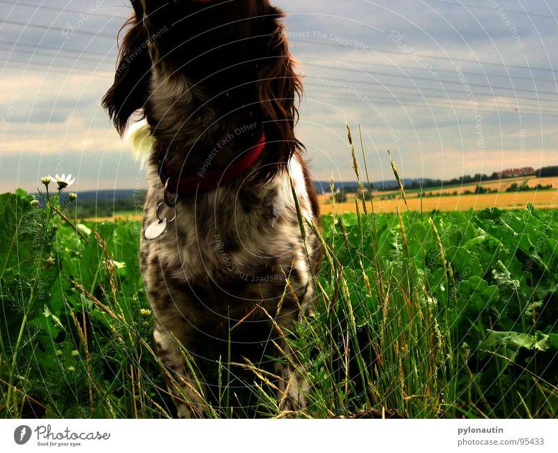 headless dog Dog Green Field Meadow Animal Pet Mammal Blue Münsterland Landscape