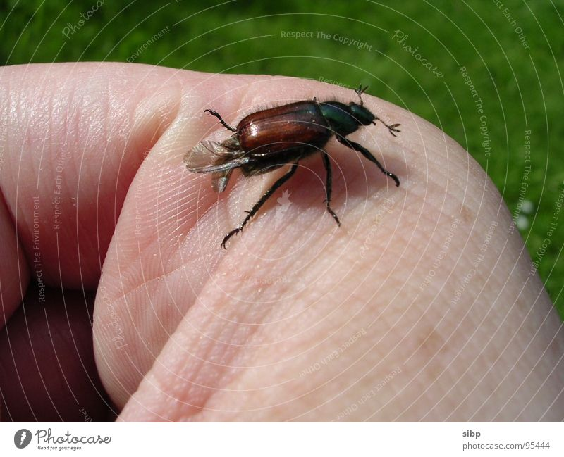 Beetle finger runway Fingers Brown Trust May bug Small Environmental protection Crawl Green Meadow Ecological Lacking Summer Skin Life Flying Nature extinction
