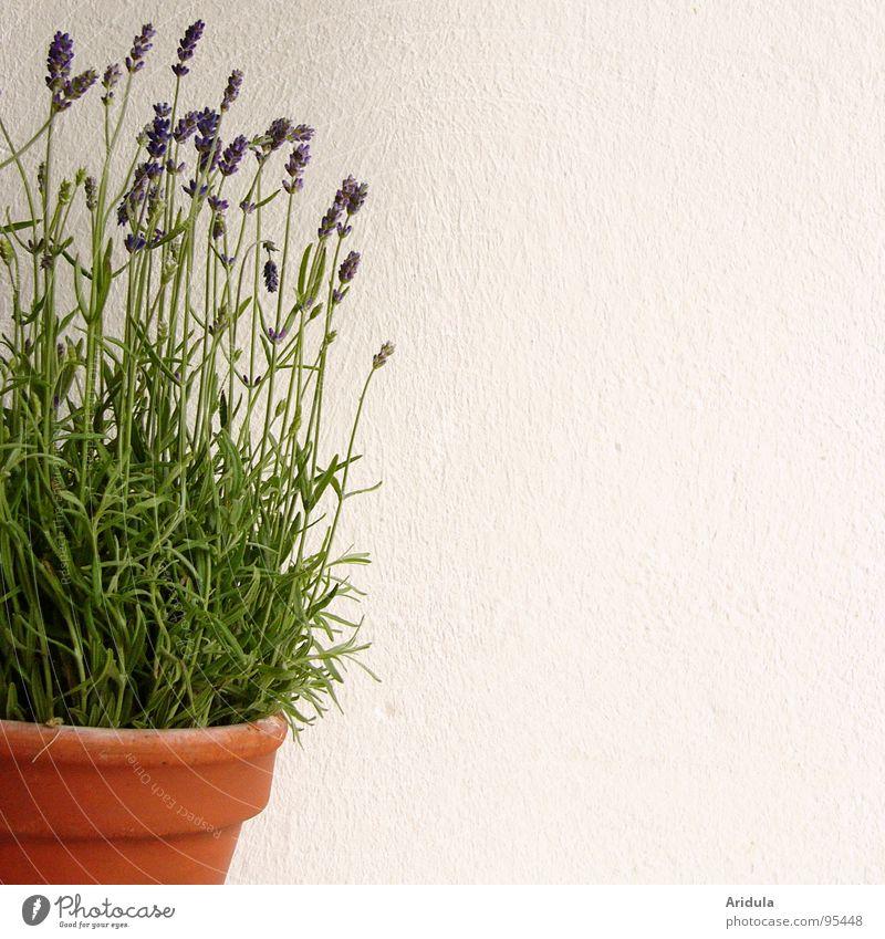 lavender Lavender Violet Flower Pot Perfume White Wall (building) Green Plant Blossom Summer Blue Fragrance Medicinal plant
