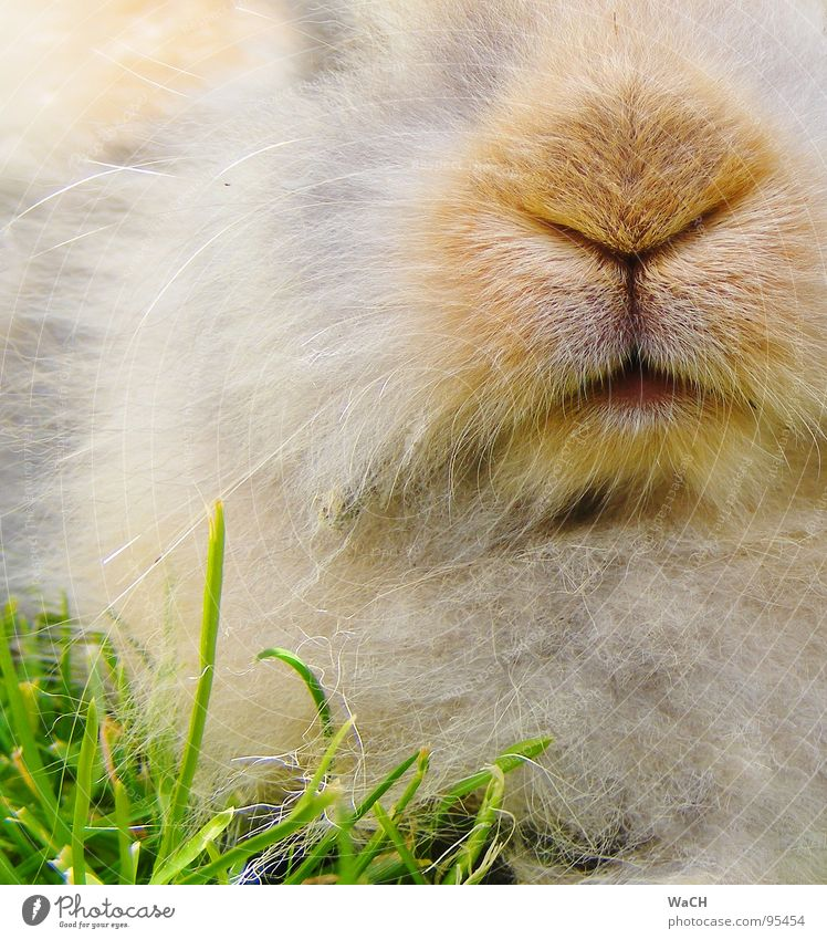 My name is Hase Hare & Rabbit & Bunny Snout Pelt Pet Pygmy rabbit Mammal Munchkin Nose Mouth Lawn Easter Bunny
