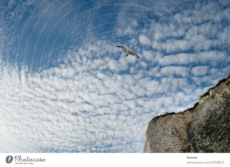 flying by Elegant Summer Kent England Environment Nature Landscape Sky Clouds Sunlight Beautiful weather Grass Rock Coast Cliff Animal Wild animal Bird Seagull