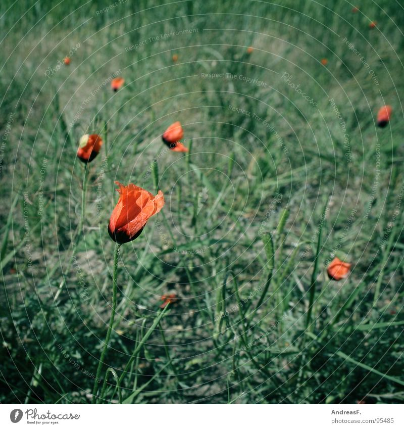 Nature Flower Green Red Summer Blossom Field Growth To go for a walk Blossoming Poppy Intoxicant Seed Poppy blossom Corn poppy Wayside