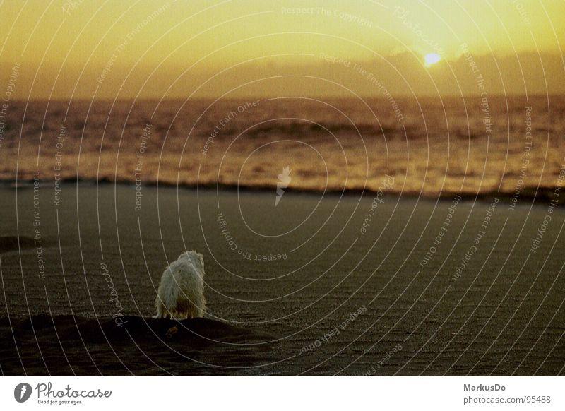 Dog enjoys beach and sunset Beach Vacation & Travel La Palma Dusk Coast Mammal Sand Joy