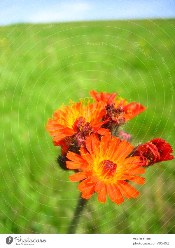 Nature Sky Flower Green Red Colour Meadow Individual Vertical