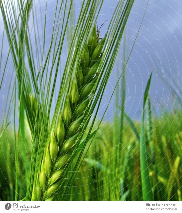 Nature Blue Green Animal Environment Field Food Growth Nutrition Curiosity Insect Grain Feeler Ear of corn Barley Agricultural crop