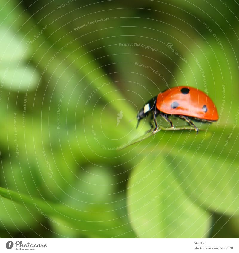 light-footed Environment Nature Plant Summer Leaf Cloverleaf Garden Beetle Ladybird Insect Leg of a beetle Good luck charm Crawl Small Natural Beautiful Green