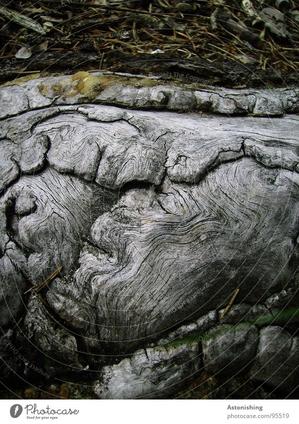 Nature Old Tree Plant Wood Gray Environment Growth Ground Natural Firm Strong Root Wood grain Natural growth Log