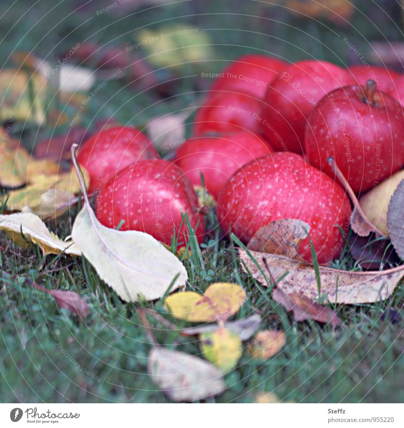 the last apples of the year organic Apple harvest Organic produce Harvest fruit harvest Red green Supply Vitamin dark red Autumnal Moody Autumnal colours