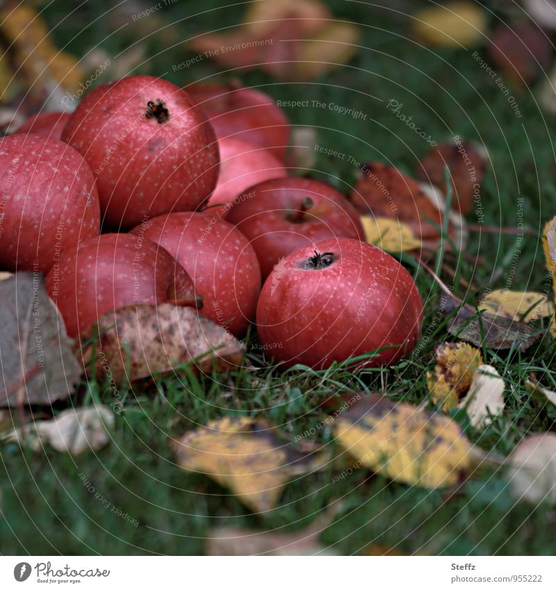Apple harvest in autumn garden apples red apples Pomacious fruits Fruit garden Nutrition Organic organic Organic produce Supply Winter stock Food Vitamin