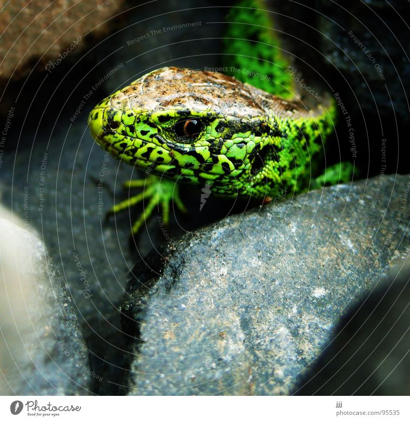 Green Eyes Stone Feet Reptiles Saurians Lizards