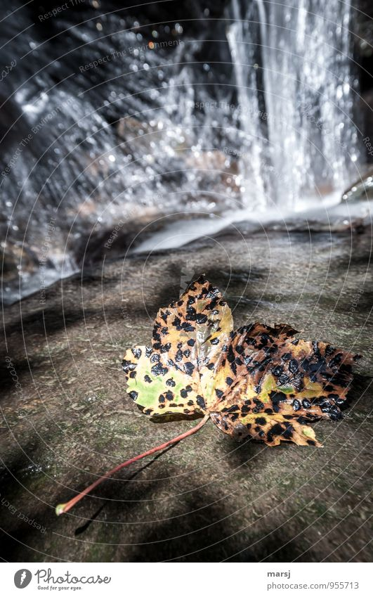 pox in autumn Nature Autumn Leaf Maple leaf Waterfall Old Multicoloured Sadness Grief Death Fatigue End Limp Colour photo Exterior shot Deserted Copy Space top
