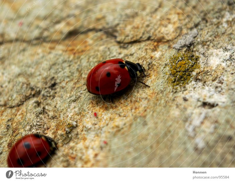 Follow me inconspicuously.... Ladybird Red Black Granite Insect Caravan Seven-spot ladybird Stone Macro (Extreme close-up) Nature In pairs Pair of animals
