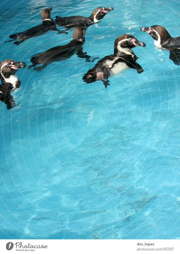 The pack Band together Pack Penguin Network Bird horde Flock clan Family black-white tailcoat straps Water convivial gathering blue and wet Float in the water