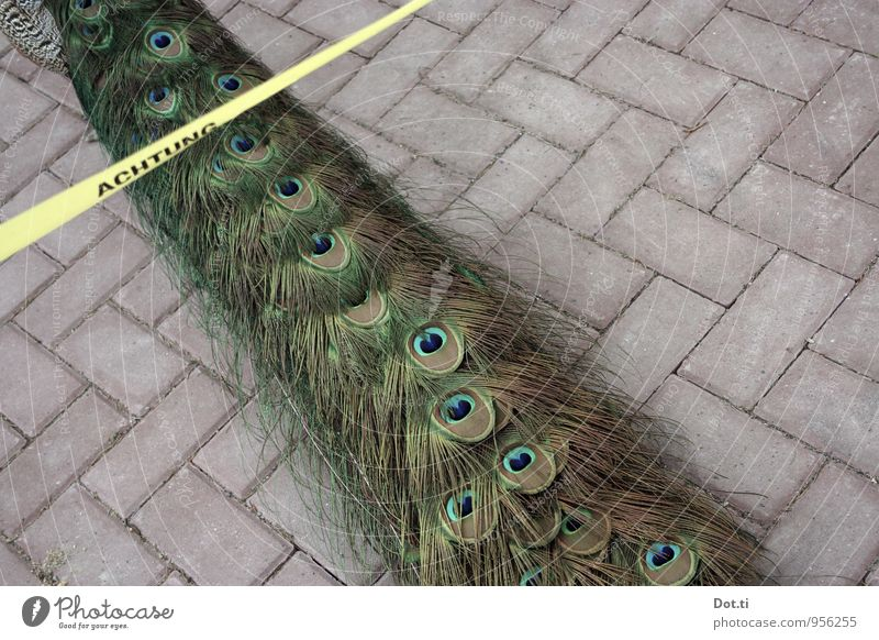 Ladies + Gentlemen watch out Animal Bird 1 Funny Beautiful Crazy Yellow Whimsical Peacock tail feathers Feather Barrier Signage Barred Paving stone