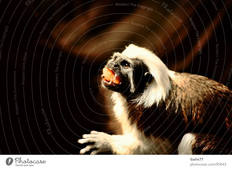 Nutrition Small Food Sweet Cute Delicious Appetite To feed Mammal Monkeys Carrot Young monkey