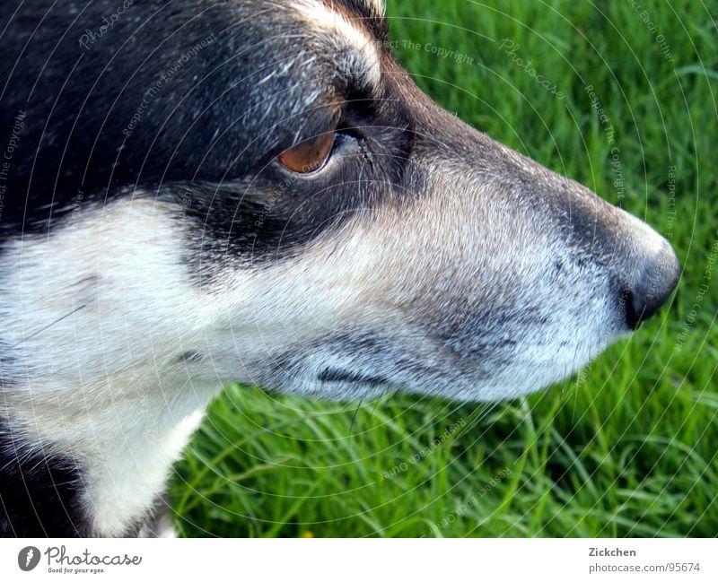 super dog Dog Crossbreed Grass Snout Gray Brown Black Animal Pet Companion Eyes Garden Nature