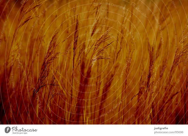 Beautiful Yellow Meadow Grass Brown Orange Wind Gold Glittering Soft Delicate Stalk Blade of grass Smooth Flexible Pollen