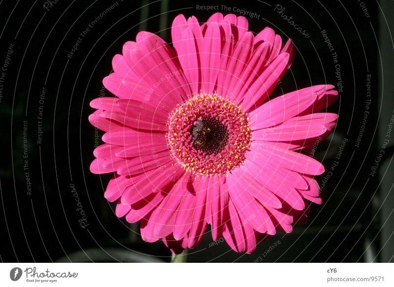 pink flower 3 Blossom Pink Flower Detail