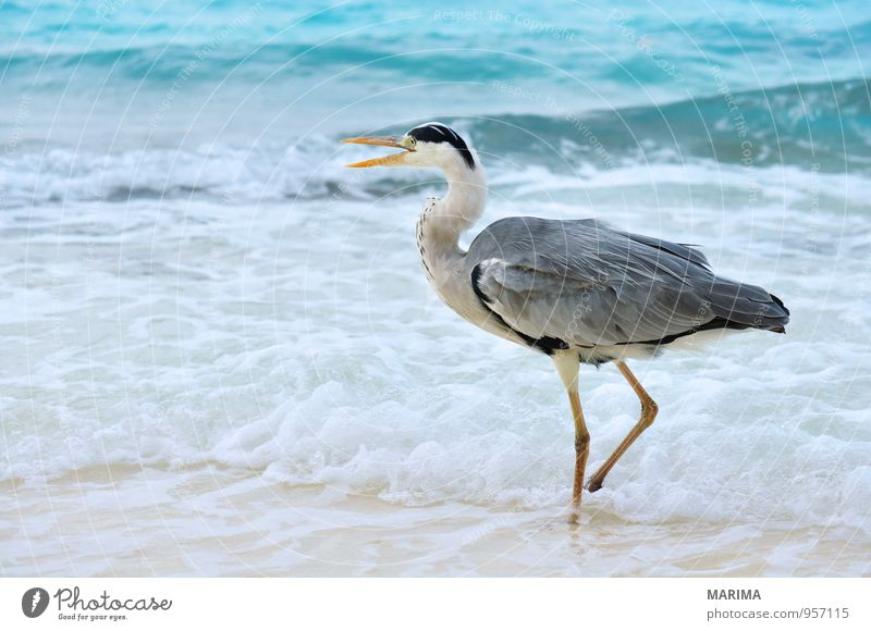 Grey Heron at the beach, Maldives Style Exotic Relaxation Vacation & Travel Beach Ocean Island Nature Animal Sand Water Bird Blue Gray Turquoise Watchfulness