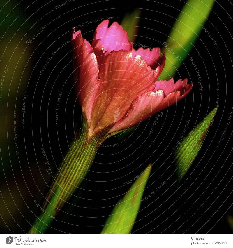 Dianthus_deltoides_Heath_Carnation Dianthus deltoides Heathland Flower Blossom Red Pink Green Black Plant Spring Summer Garden Bed (Horticulture) Stalk