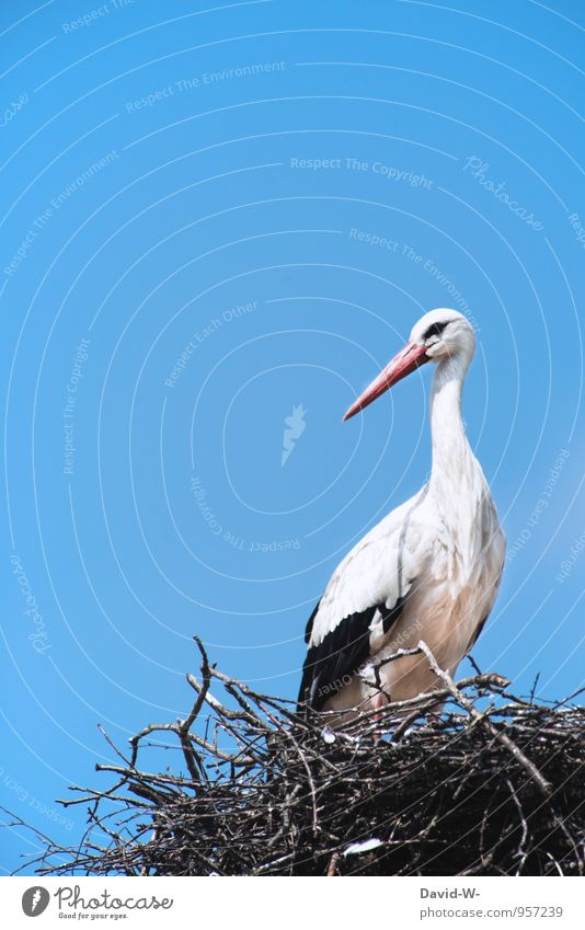 obeisant a stork Nature Animal Air Sky Cloudless sky Spring Summer Poland Roof Chimney Wild animal Bird Wing Stork Geranium 1 Rutting season Athletic Elegant