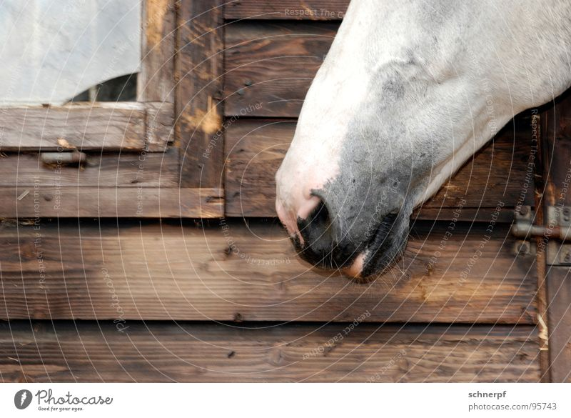 Full snout Snout Horse Wood White Pelt Nostrils Lips Window Riding stable Barn Detail Leisure and hobbies Nose Hut Odor Farm