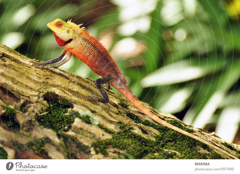 male oriental garden lizard on a tree Style Exotic Vacation & Travel Summer Nature Animal Tree Virgin forest Wild animal Sit Brown Green Red Agamidae agamide