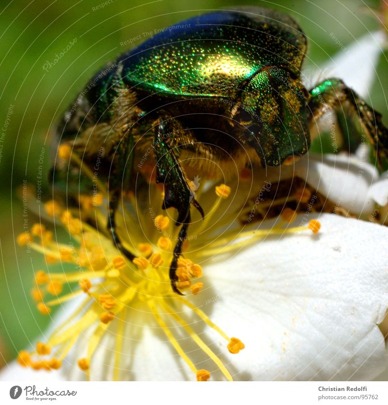 insect Nutrition Blossom Animal Insect To feed Glittering Green White Macro (Extreme close-up) Close-up brilliance Beetle Food Gold Legs Armor-plated Flying
