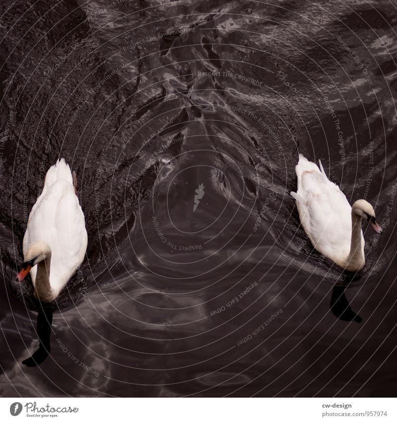 swan lake Nature Animal Water Lakeside Wild animal Swan 2 Pair of animals Swimming & Bathing Blue White Relationship Freedom Attachment Colour photo
