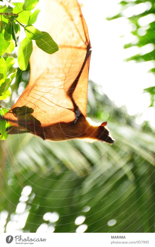 Flying Fox upside down in tree Style Exotic Vacation & Travel Nature Animal Tree Leaf Virgin forest Wild animal Brown Green Black Watchfulness Asia Branch Twig