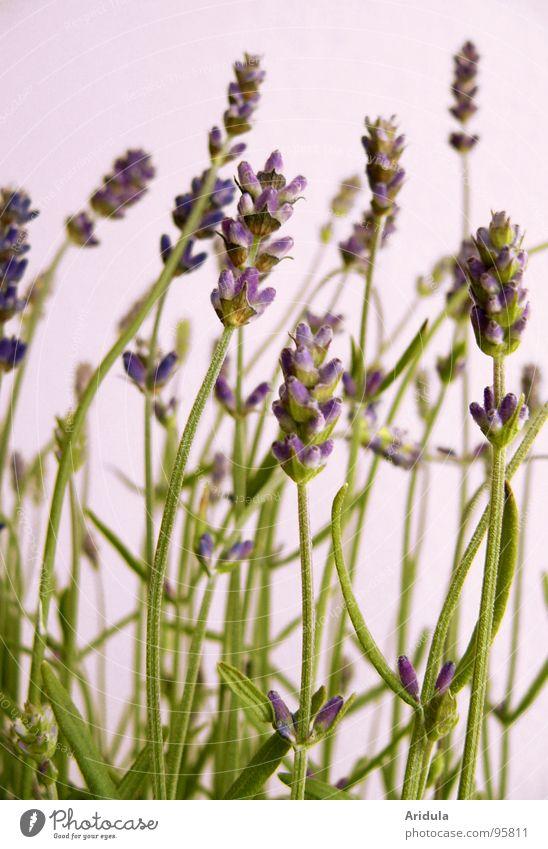 lavender_02 Lavender Violet Beautiful Flower Blossom Plant Green Perfume Summer Smooth Fragrance Medicinal plant