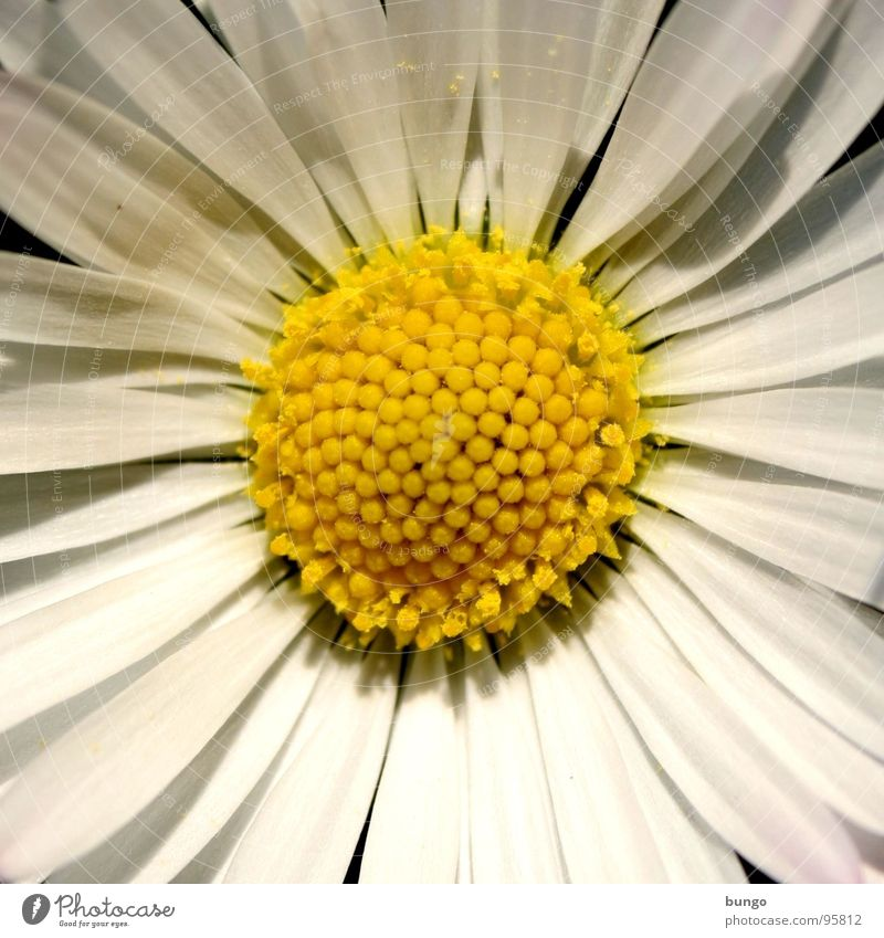 Beautiful Flower Blossom Growth Transience Blossoming Daisy Pollen Faded Daisy Family Macro (Extreme close-up) Fried egg sunny-side up Common chicory