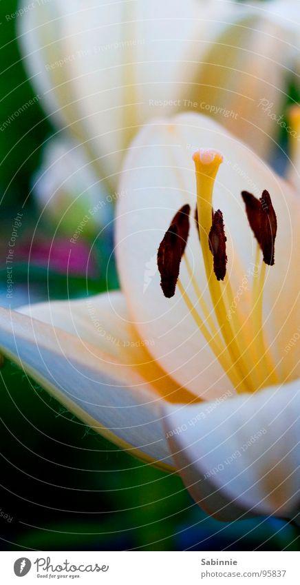 Nature Flower Blossom Lily Pistil Blossom leave Lily blossom