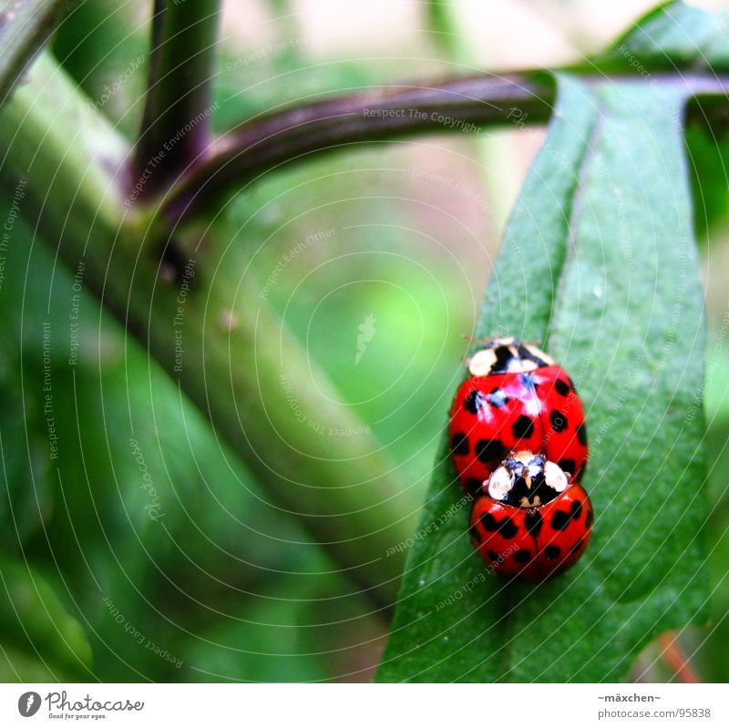 Ladybug love - make love not war Rutting season Spring Ladybird Joy Propagation Red Green Bushes Offspring Production Multicoloured ladybirds smudge Beetle