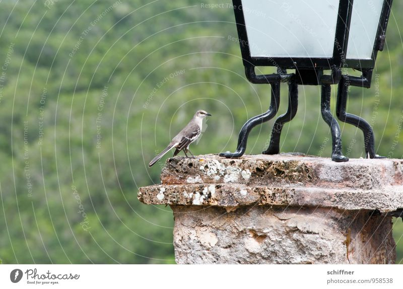 Caribbean Lark Animal Bird Wing 1 Exceptional Lamp Cornice Pole Metal coil Feather Exotic Exterior shot Deserted Copy Space left