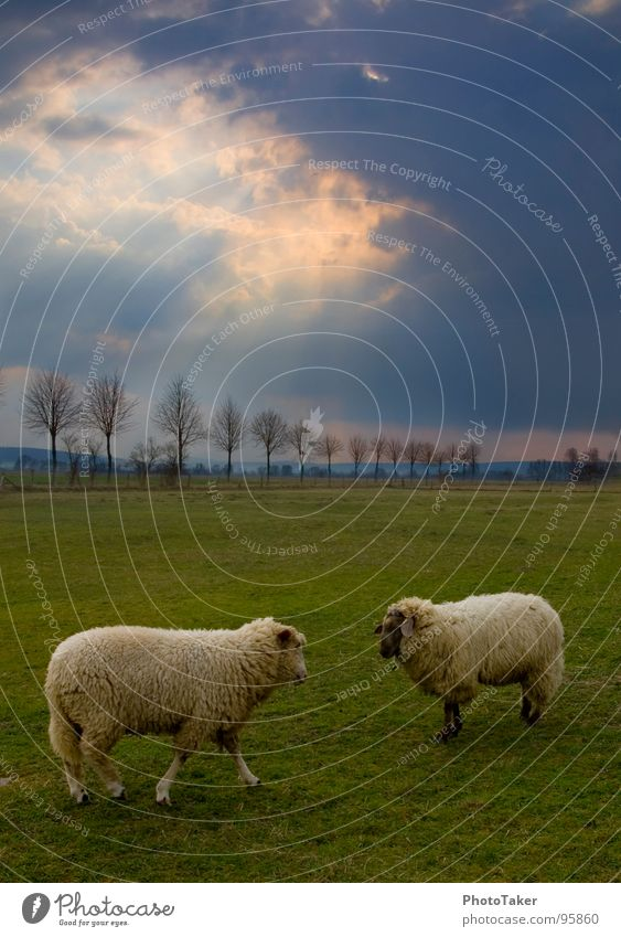Battle of the sheep Sheep HDR Livestock Clouds Avenue Tree Anger Rutting season Field Meadow Aggravation Mammal Sky landscaped Sun Fight