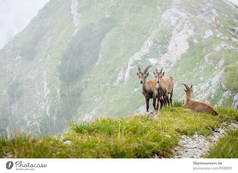 Wild ibex in the Tyrolean Alps Leisure and hobbies Hunting Vacation & Travel Trip Adventure Safari Expedition Summer Summer vacation Mountain Hiking Climbing