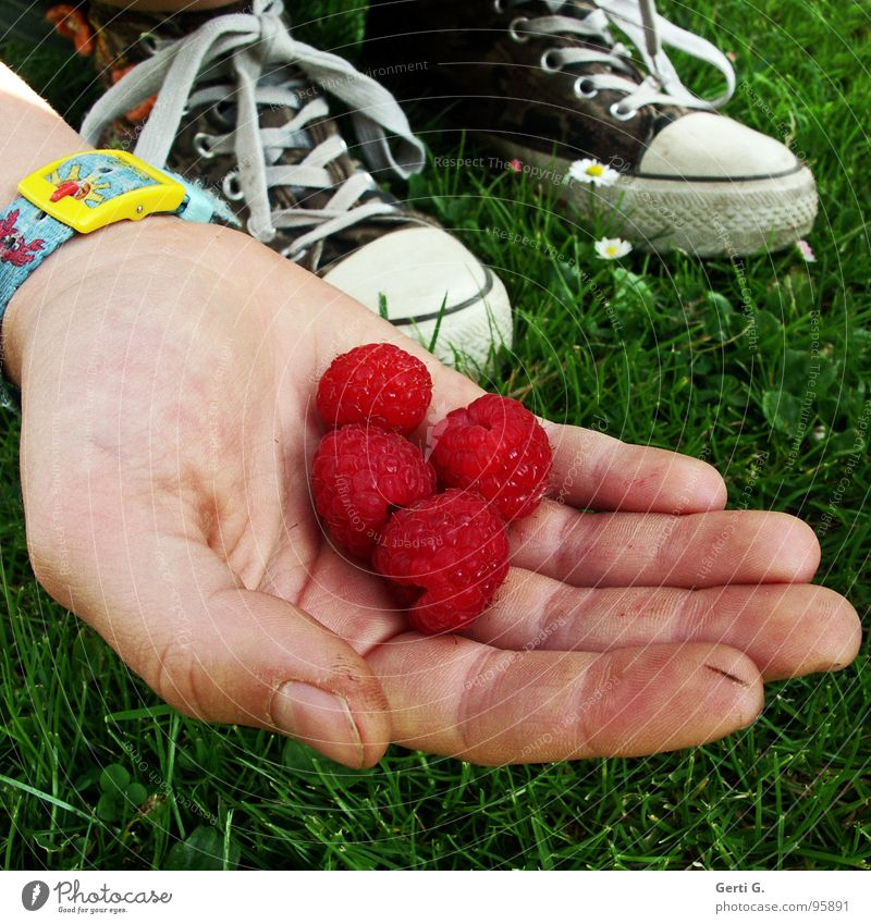 small raspberry Raspberry 4 Picked Red Hand Offer Presentation Fingers Footwear Chucks Grass Meadow Green Daisy Fruit Summer raspberries ripe for picking