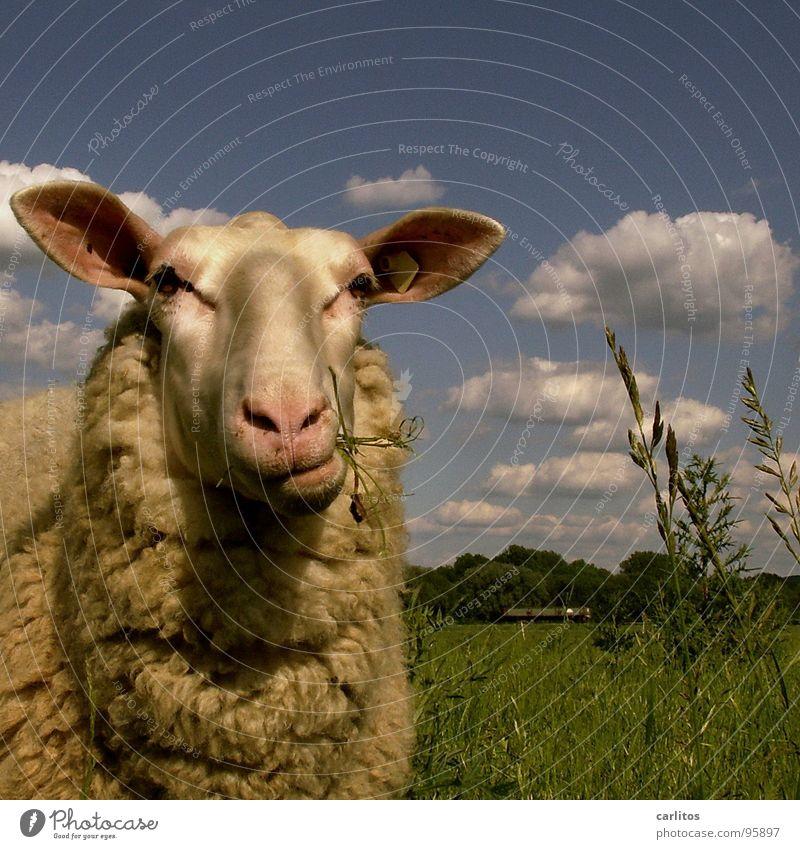 Beautiful Calm Think Funny Cute Pelt Idyll Animal face Pasture Sheep To enjoy Blade of grass To feed Lust Harmonious Mammal
