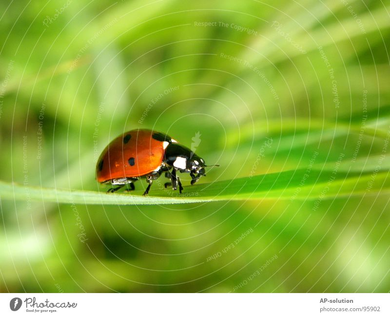 """galloping"" ladybird *1 Happy Success Nature Animal Grass Beetle Crawl Walking Small Speed Green Red Black Ladybird Insect Diminutive Feeler Blade of grass"