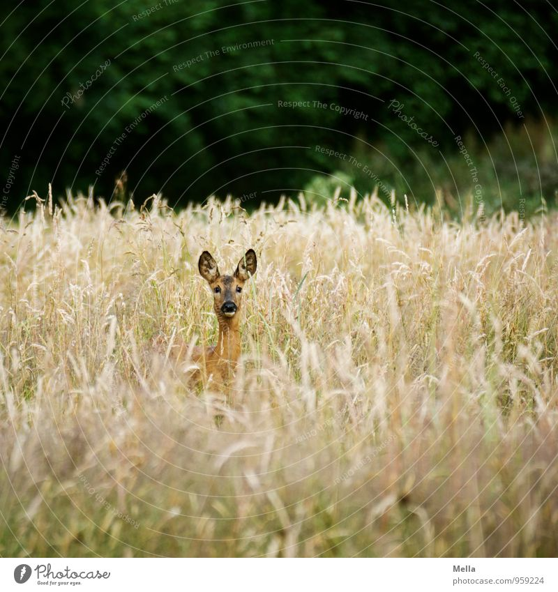 good morning shoot Environment Nature Landscape Animal Summer Plant Grass Meadow Field Wild animal Roe deer 1 Observe Looking Free Natural Curiosity Freedom