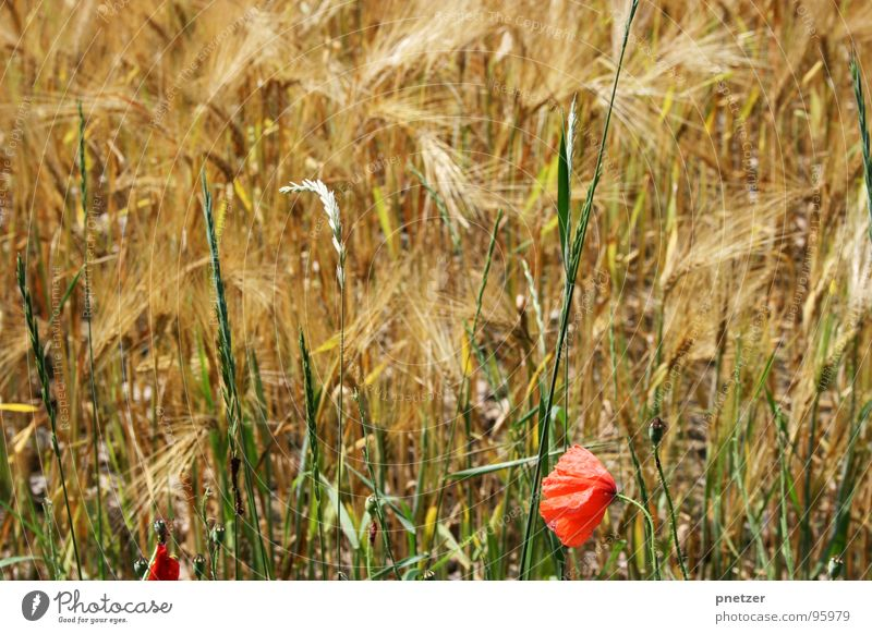 Red Summer Blossom Grass Field Agriculture Poppy Grain Wheat