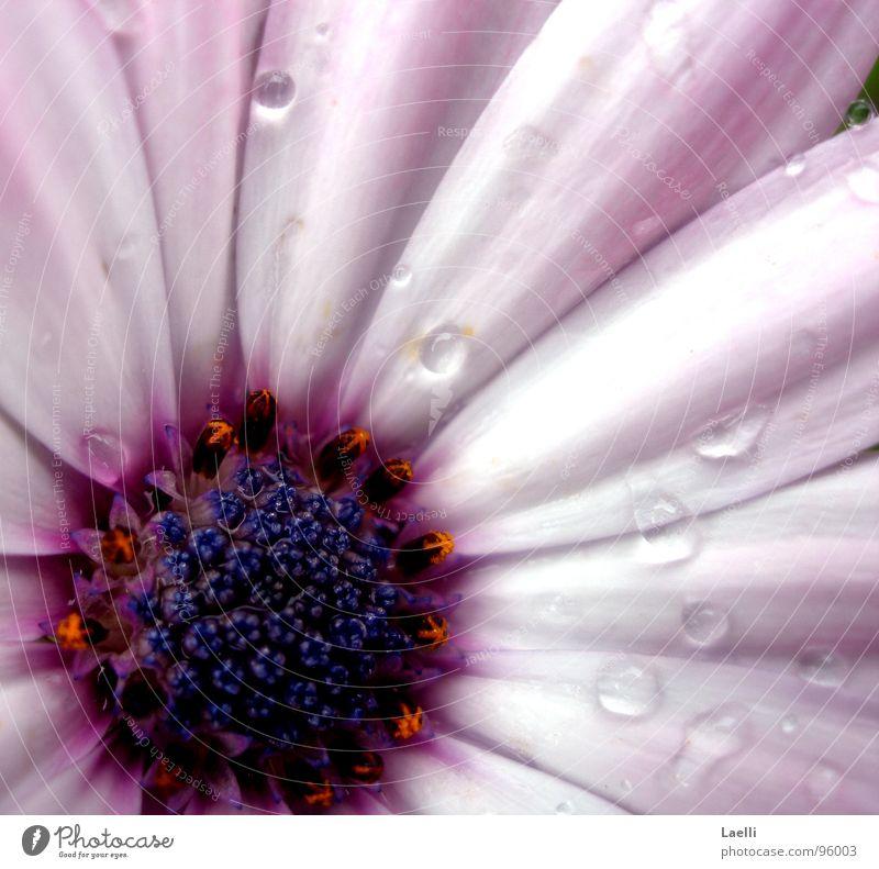 White Flower Blossom Rain Bright Pink Drops of water Wet Violet Pistil