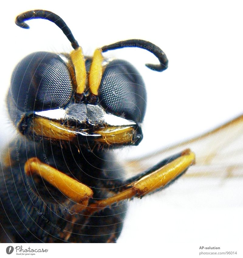 Nature Blue Animal Black Yellow Emotions Small Work and employment Flying Wing Bee Insect Macro (Extreme close-up) Grinning Shorts Crawl