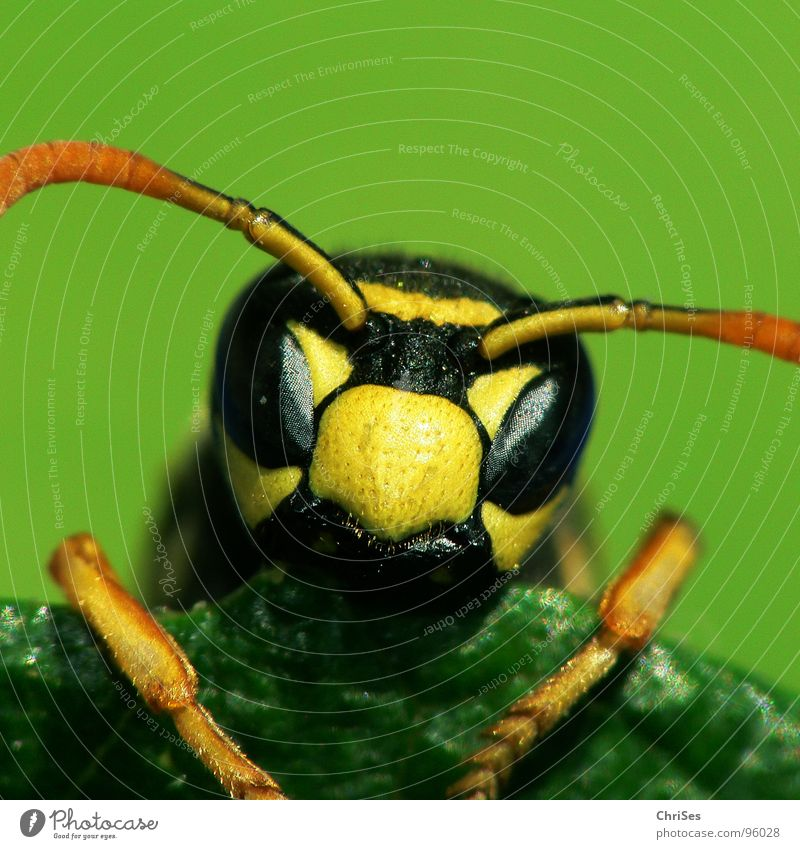 French field wasp ( Polistes dominulus ) Hymenoptera Wasps Bee Hornet Yellow Black Green Insect Animal Feeler Summer Articulate animals Stamen